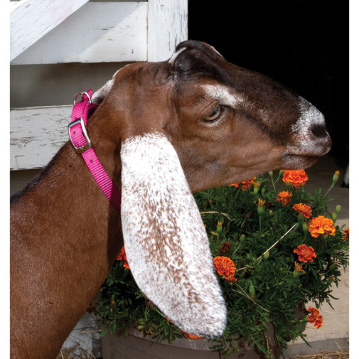 View larger image of Goat Collar